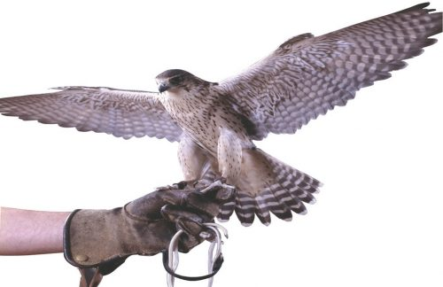 falcon landing on a gloved hand