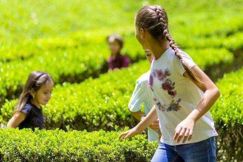 children run excitedly through a maze of hedges