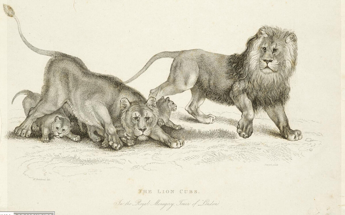 A drawing of two adult lions, a female and male, and three lion cubs. Titled The Lion Cubs.