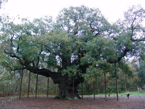 A photograph of a very large oak tree that is 1000 years old